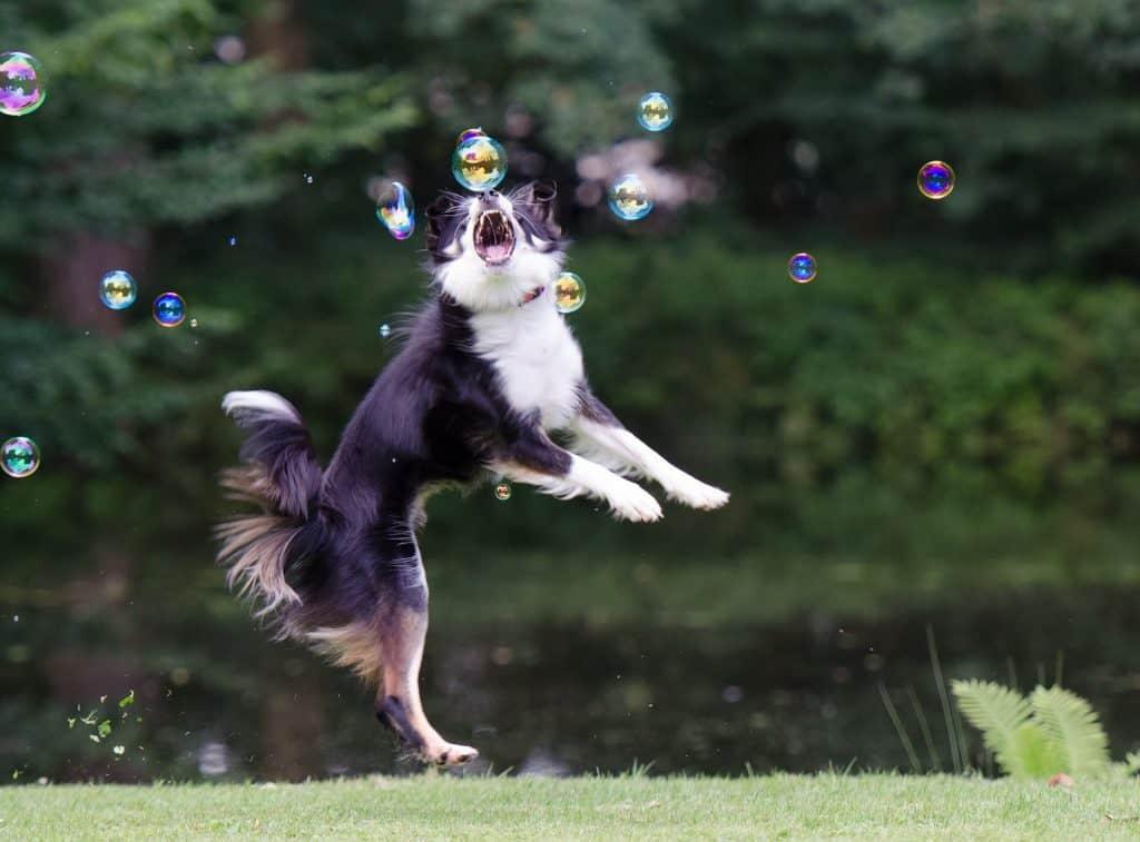 Koira jahtaamassa saippuakuplia