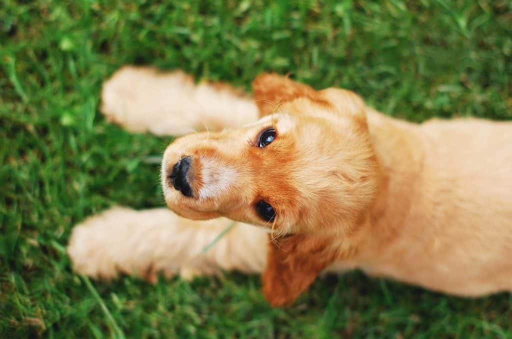 Miksi Koira Syö Ruohoa