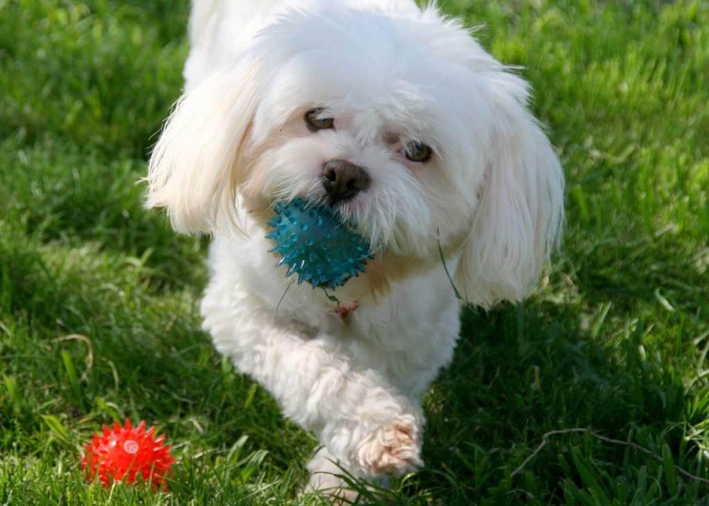 Koira kahden aktivointipallon kanssa