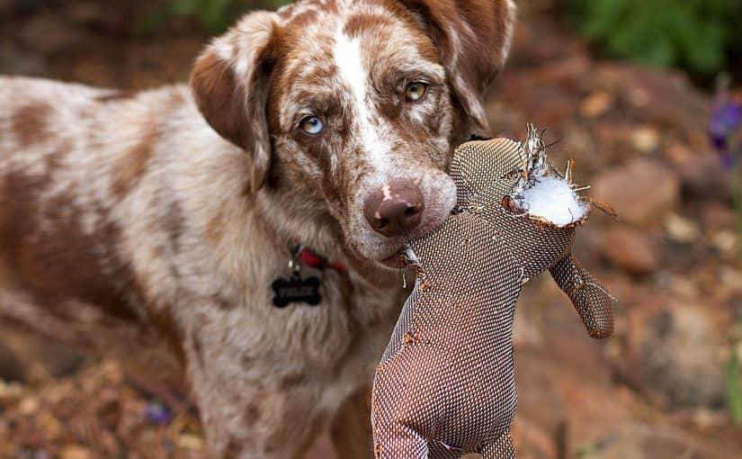 Miksi koira vinkuu omalle lelulleen?