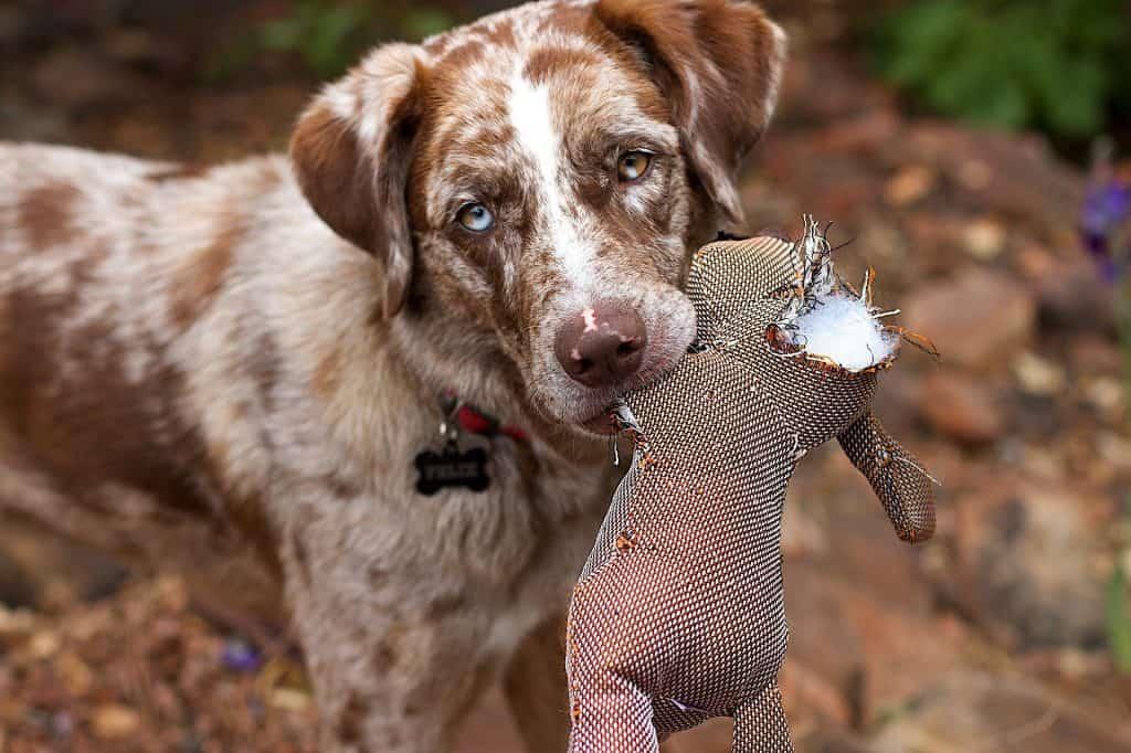 Koira lelun kanssa silmät avoinna.