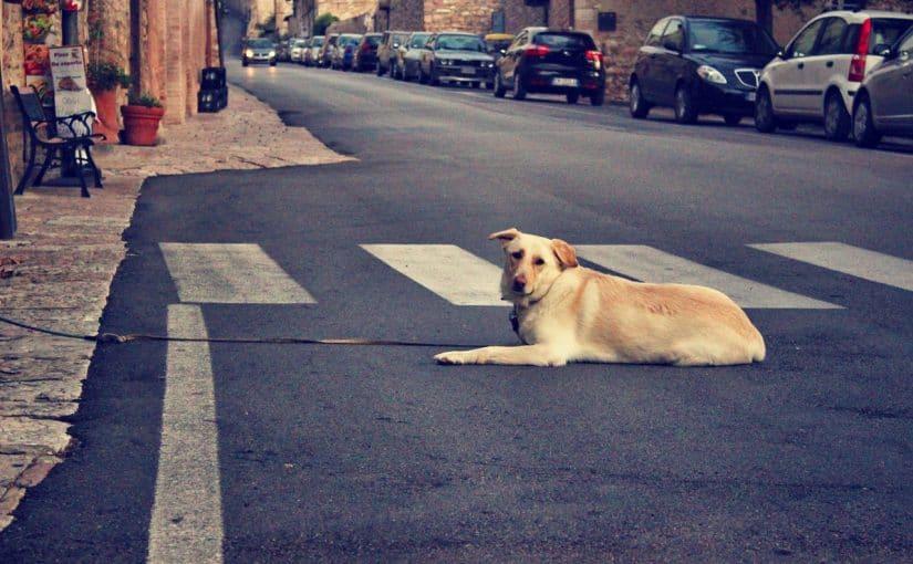 Koira makuulla keskellä tietä