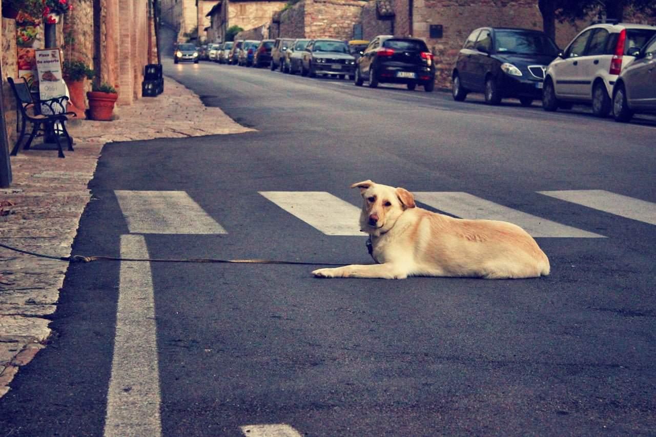 Koira Nuolee