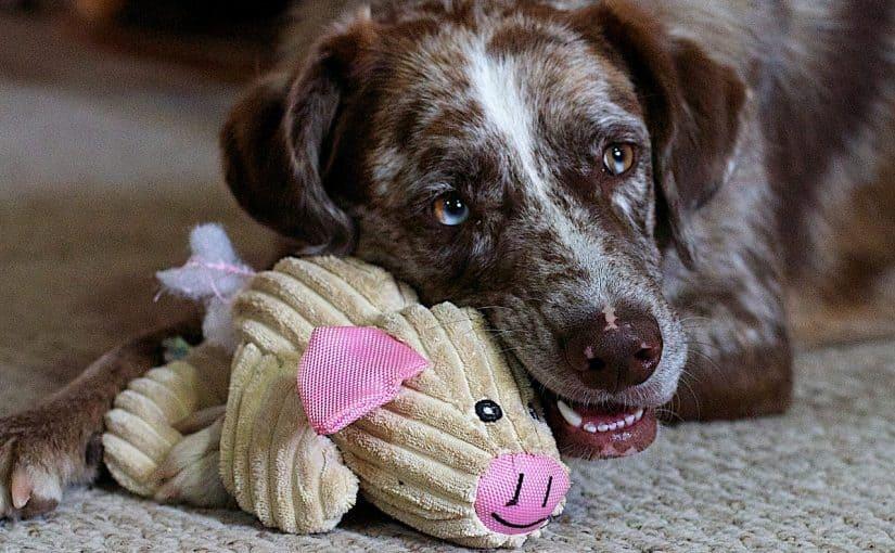 Koira pehmolelunsa kanssa