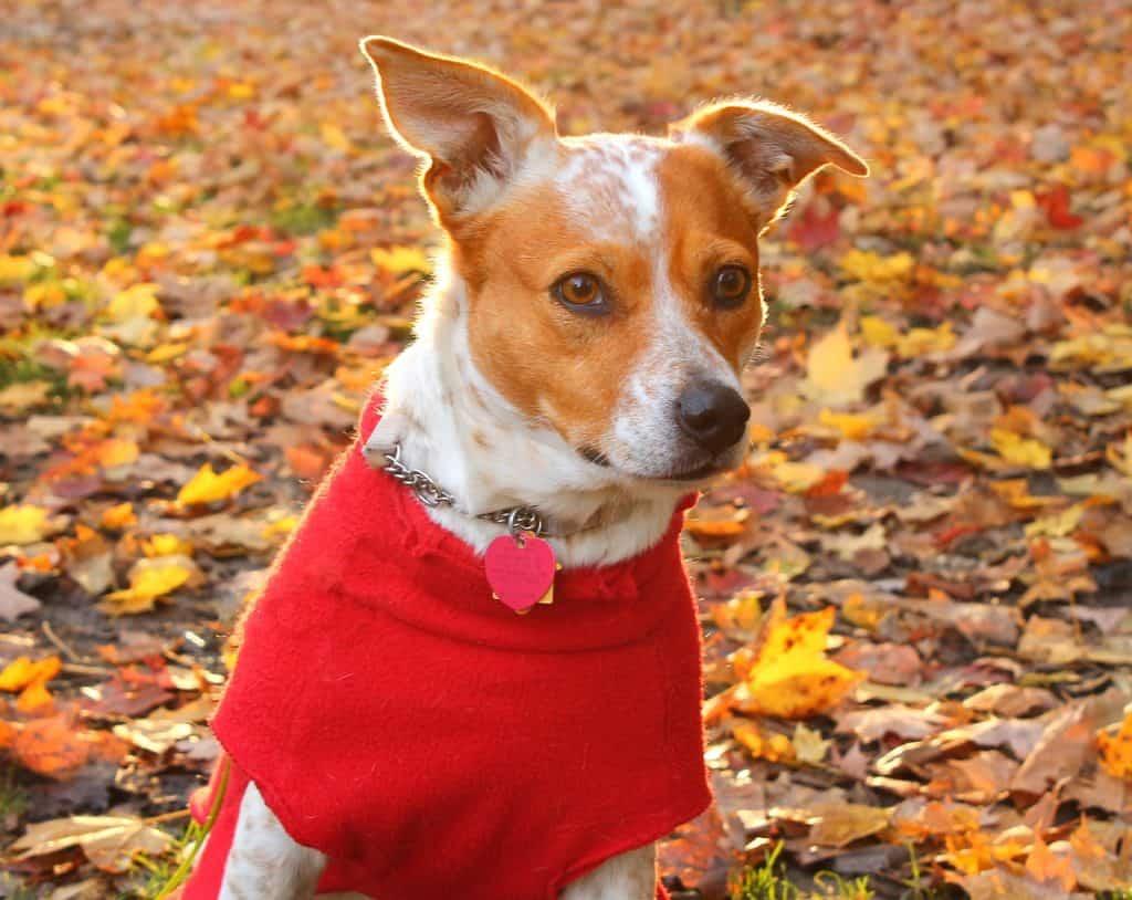 Koira punaisessa vaatteessa