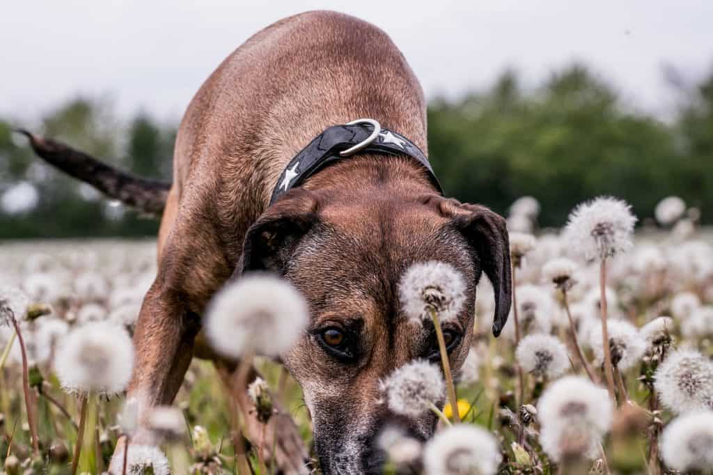 Koira voikukkien kimpussa