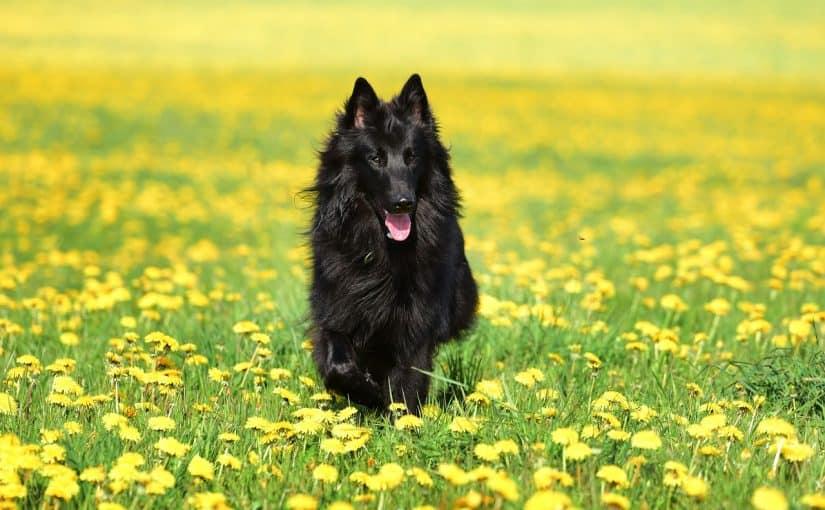 Koira syö voikukkia – onko se vaarallista?