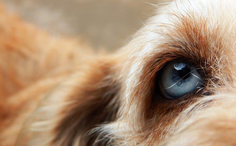 Ovatko koirat värisokeita?