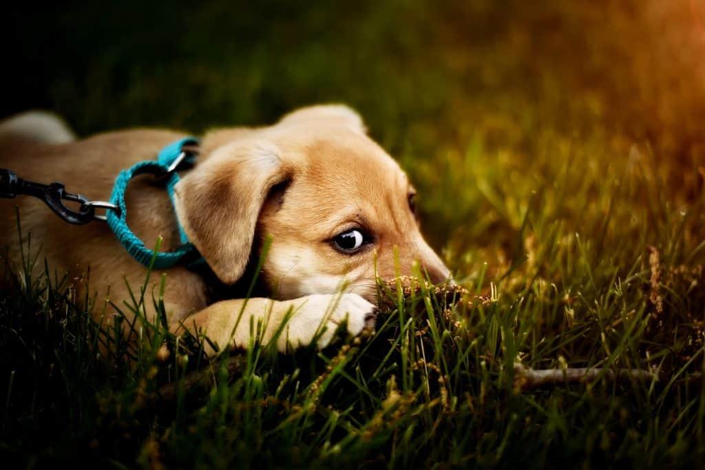 Koiranpentu nurmikolla