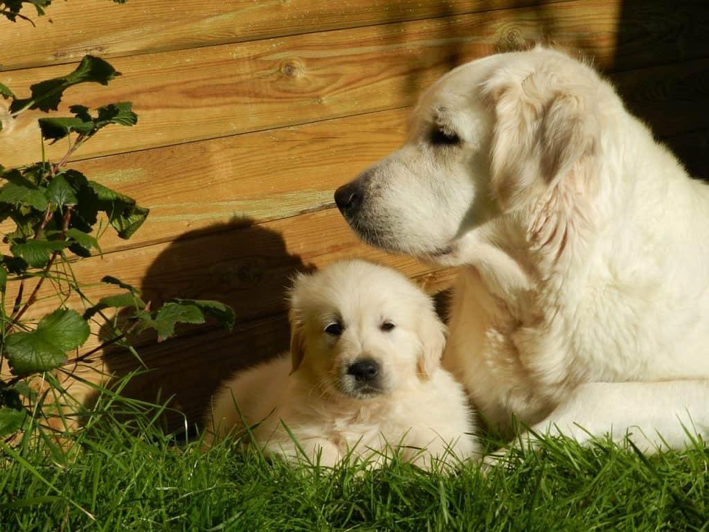 Kultaisennoutajan emä ja pentu