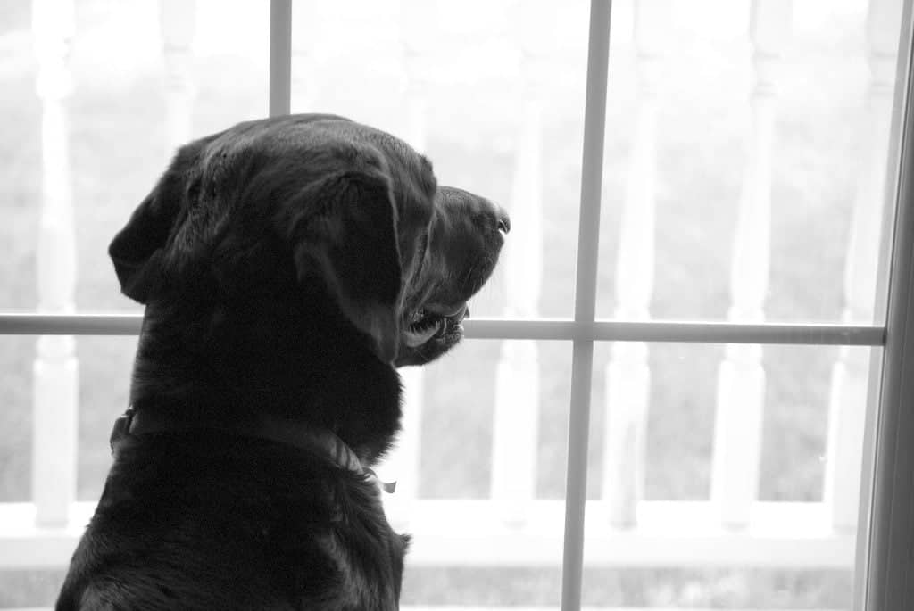 Labradorinnoutaja katselee ikkunasta ja odottaa laumaansa takaisin palaavaksi.