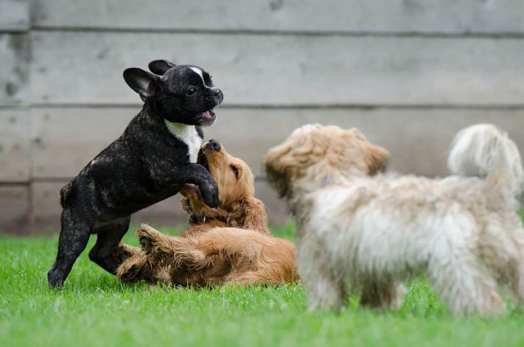 Leikkiviä koiranpentuja