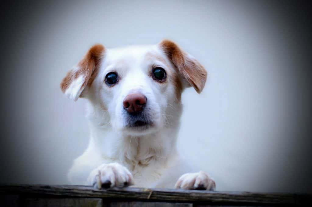 Pelokas koira