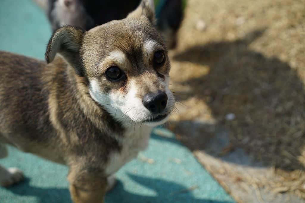 Tuijottava koiranpentu
