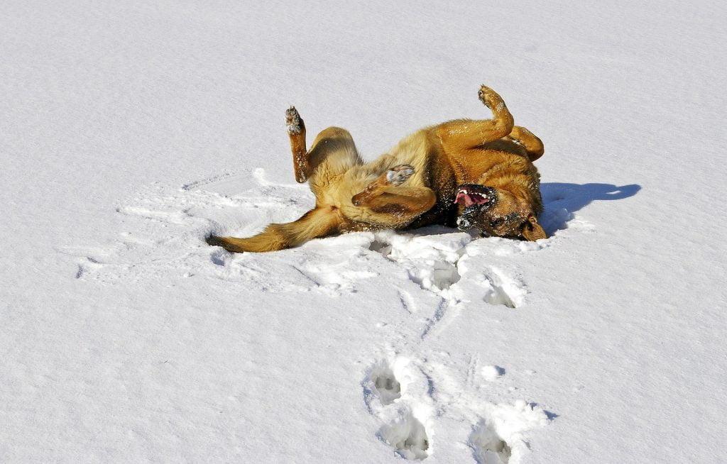 Saksanpaimenkoira pyörii lumessa