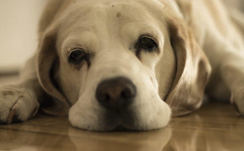 Miksi koira huokailee?